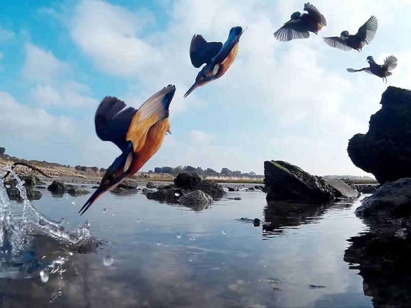 Kingfisher diving - Visit Ramsgate