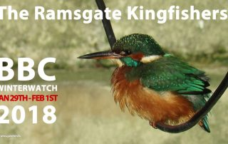 Kingfisher Ramsgate Harbour - BBC Winterwatch