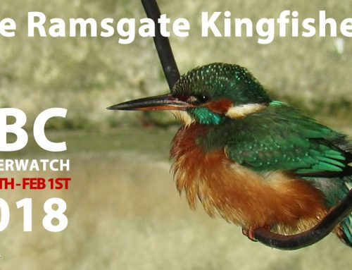 Ramsgate Kingfishers to feature on BBC Winterwatch