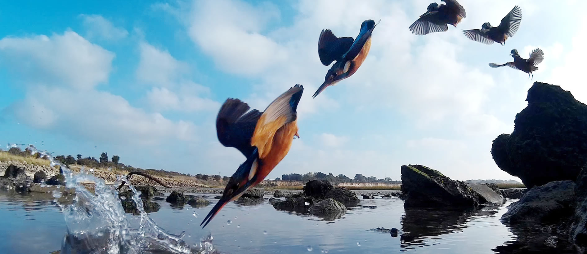 Kingfisher diving on the coast - Visit Ramsgate